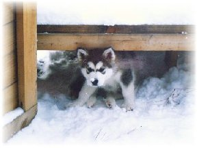 ALASKAN MALAMUTE PUPPIES 3