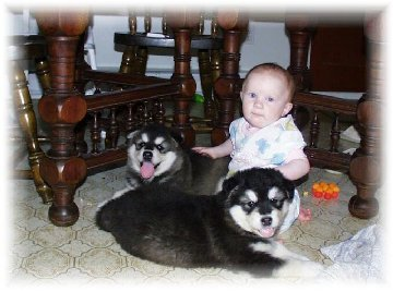 ALASKAN MALAMUTE PUPPIES 9