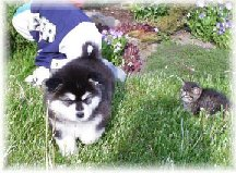 ALASKAN MALAMUTE PUPPIES 1