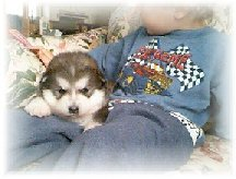ALASKAN MALAMUTE PUPPIES 7