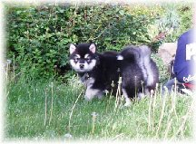 ALASKAN MALAMUTE PUPPIES 2
