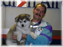 ALASKAN MALAMUTE PUPPIES 6