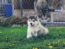 ALASKAN MALAMUTE PUPPIES 8